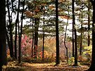 Autumn Forest in Wisconsin 1 of 2 by Barberelli