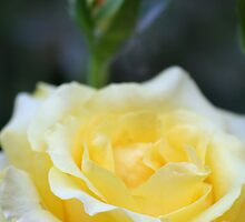 Yellow Rose With A Terry Twist by Terry Aldhizer