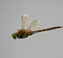 Male Norfolk Hawker by Robert Abraham
