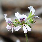australian geranium by jeroenvanveen