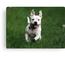 Millie in Action! Canvas Print