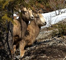 Ewe Spy - Banff National Park  by JamesA1