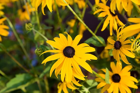 Black Eyed Susan Flower by Gary Smith