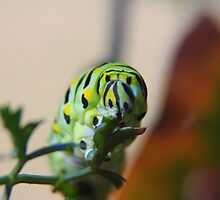 Brunch - Black Swallowtail Caterpillar by Tony Wilder