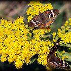 Buckeye Butterfly by Dennis Cheeseman