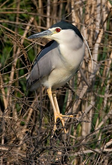 Night Heron by Martin Smart
