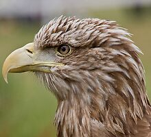 White Tailed Sea Eagle by Ian Yarrow