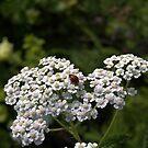 White Yarrow Lady Bug by photosbycoleen