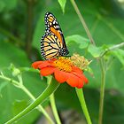Monarch - Ault Park Ohio by Tony Wilder