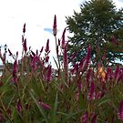 Cramer's Amazon Celosia by photosbycoleen