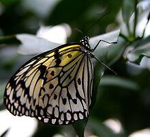 Rice Paper Butterfly - Krohn Conservatory by Tony Wilder
