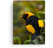 Regent Bowerbird in the Rain Canvas Print