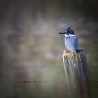 Belted Kingfisher by ChrisCouse