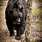Black Bear by Theodore Black