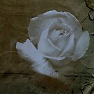 Textured Rose >> by JuliaWright