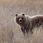 Grizzly  by Marty Samis