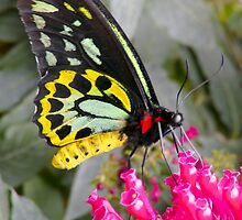 CAIRNS BIRDWING BUTTERFLY by Johan  Nijenhuis
