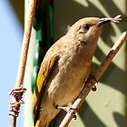 Brown Honeyeater,Kalgoorlie,West Australia by robynart