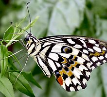 Common Lime Butterfly, Papilio demoleus by Johan  Nijenhuis