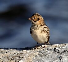 Lapland Longspur On The Rocks by Gary Fairhead