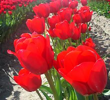 Red Tulips, Skagit Valley, Washington by suzyjaclyn