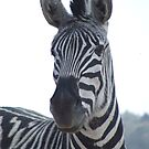 Burchell's Zebra II (Equus burchellii) by RCTrotman