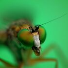 Fly - Closeup VII by kutayk