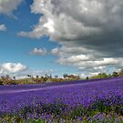 The Colour Purple by GailD