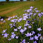 Blue Bells - Owen Springs, NT by Bart The Photographer