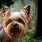 Yorkshire terrier by Yevgen Romanenko