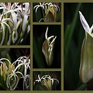 Some kind of Wonderful....Crinum pedunculatum by Magee