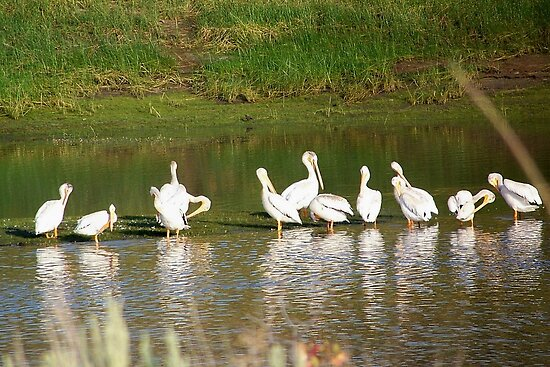 Pelicans on Unity Lake by © Betty E Duncan ~ Blue Mountain Blessings Photography