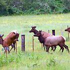 Herd of Elk Leaping - Western Oregon by Randall Ingalls