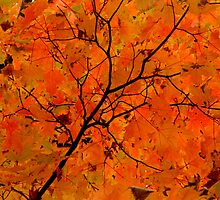 Autumn Maple in Ontario by Debbie Pinard