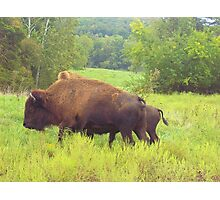 Where the Buffalo Roam, Bison of Arkansas Photographic Print