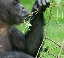 Chimpanzee - (Pan troglodytes) by Robert Taylor