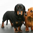 Miniature smooth dachshunds by Joanne Emery