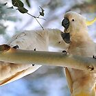 Sulphur Crested Cockatoos In Our Back Paddock. Brisbane, Queensland, Australia by Ralph de Zilva