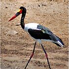SADDLE-BILLED STORK  -  Ephippiorhynchus senegalesis by Magaret Meintjes