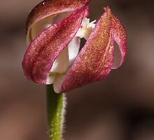 Musky Caladenia - Stegostyla gracilis  by Paul Piko