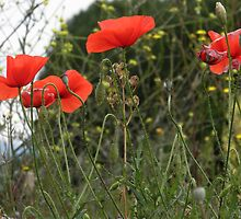 Poppy Gathering by Paul Revans