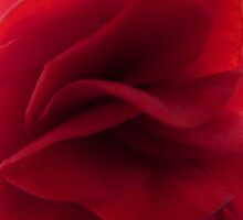 Begonia folds by Photos - Pauline Wherrell