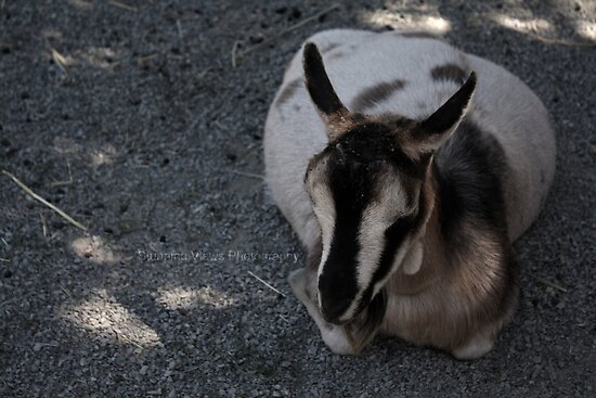 Goat by Oceanna Solloway