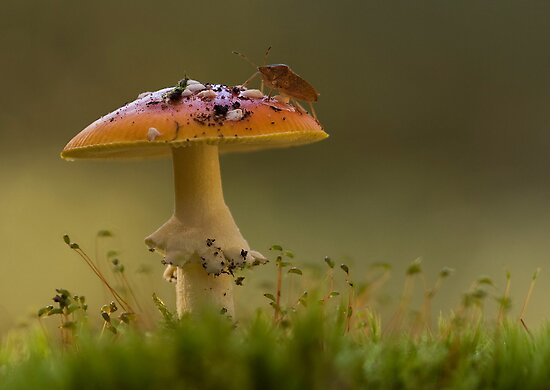 Fly Agaric with Stink Bug by Glynn May
