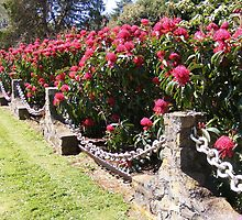 HEDGE OF WARATAH Flowers (Telopea speciosissima) by Esther's Art and Photography