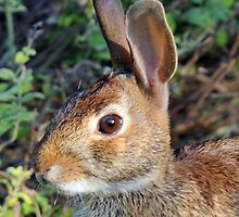 Cottontail by ewersphoto
