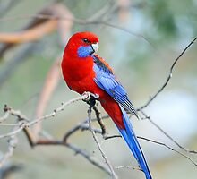 Crimson Rosella In Our Yard. Brisbane, Queensland, Australia. by Ralph de Zilva