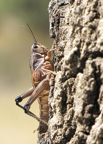 Plains Lubber Grasshopper ~ Female by Kimberly Chadwick