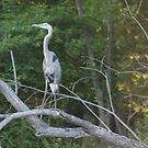 Blue Heron  by Betty Maxey