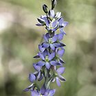 Scented Sun orchid by Barb Leopold